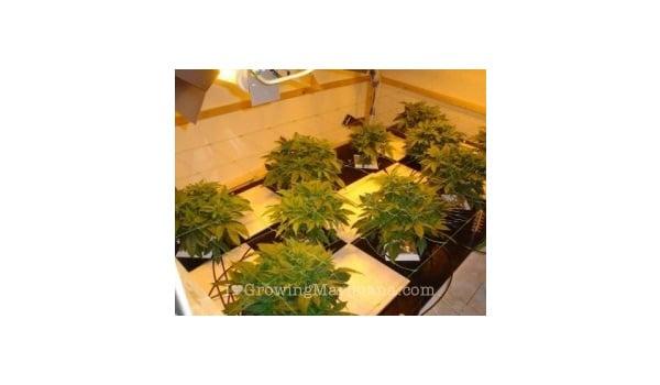 positioning light and plants-marijuana