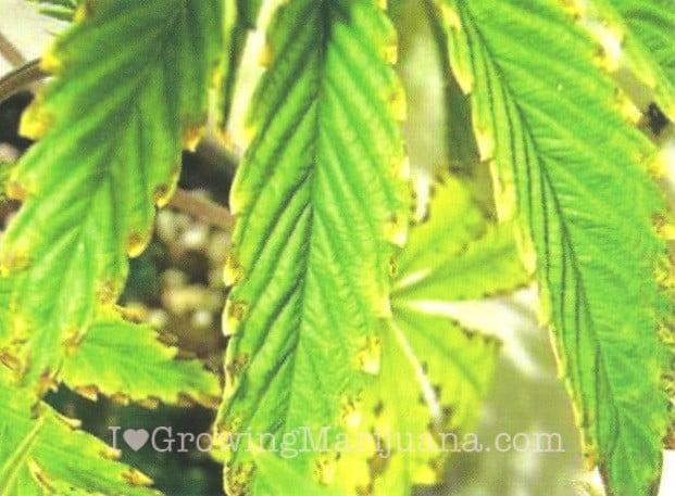 Potassium deficiency cannabis plant