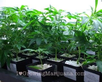 Pros cons clones cannabis