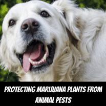 Protecting Marijuana Plants From Animal Pests