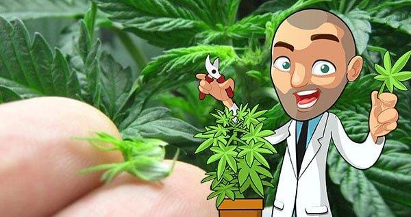 how to prune marijuana plants