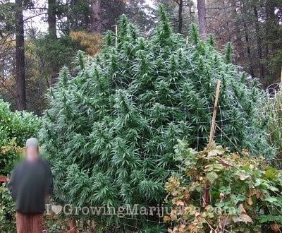 Pure sativa cannabis indoor