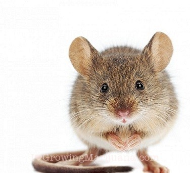 rats and mice on cannabis plants