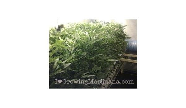 reflective material marijuana