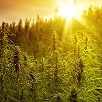 The Cannabis Light Cycle