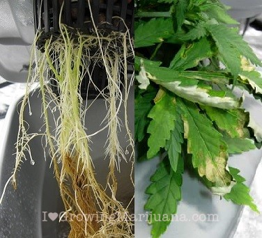 root rot on cannabis