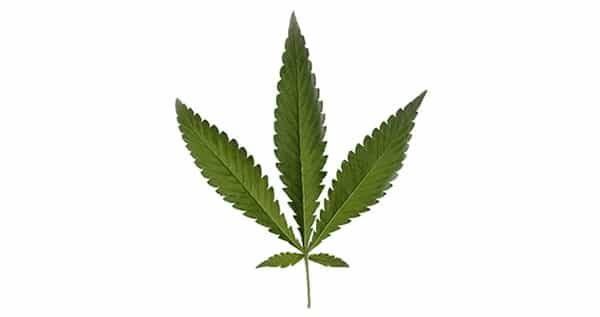 marijuana type Runderalis Leaf
