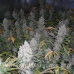 Santa Maria Marijuana