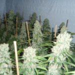 Santa Maria Cannabis
