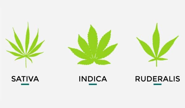 Sativa, Indica and Ruderalis plant leaves
