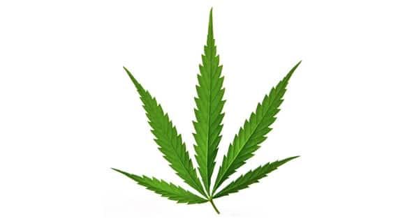 marijuana type cannabis sativa