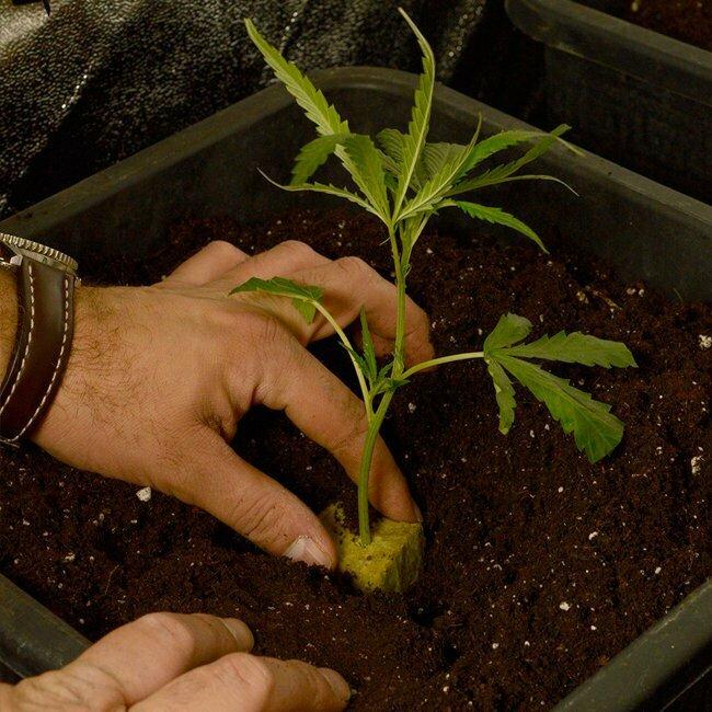 Place scrog plants