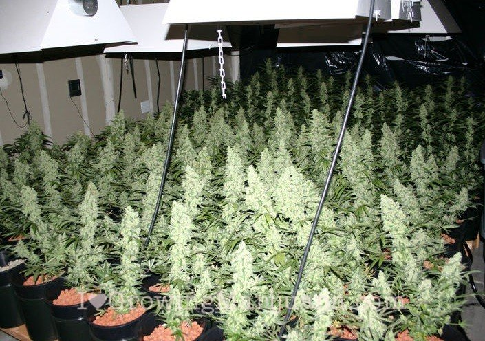 Sea of green sog cannabis growing
