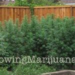 Security outdoor cannabis growing