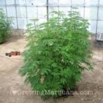 Security outdoor cannabis plants