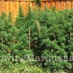 Security outdoor marijuana growing