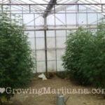 Security outdoor marijuana plants