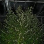 Security outdoor weed plants