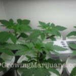 marijuana seeds sativa