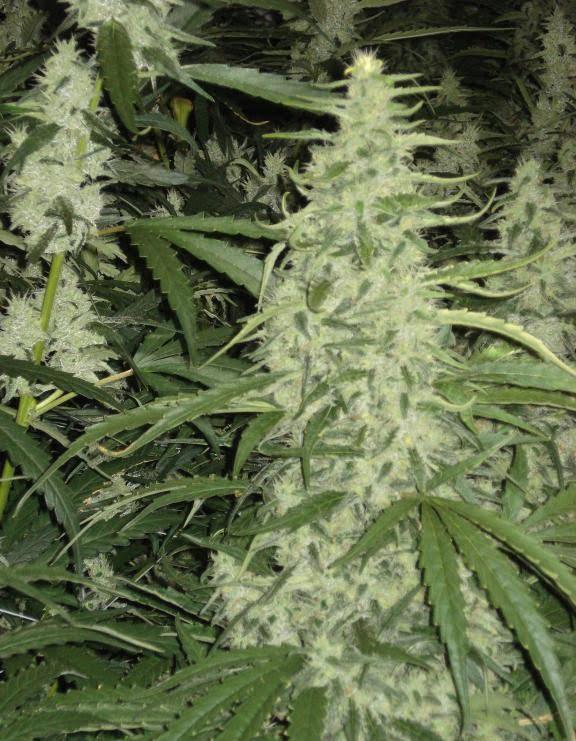 Shiva indoor cannabis bud
