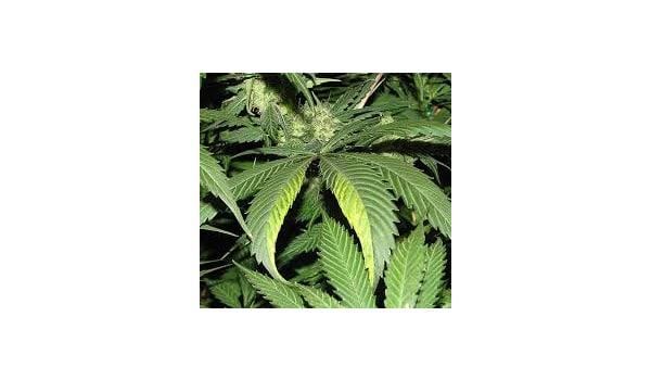 Sign of tobacco mosaic virus on marijuana plants