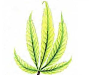Signs of a sulfur deficiency cannabis
