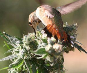 Signs of birds on cannabisplants