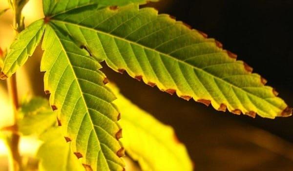 signs of calcium deficiency in marijuana