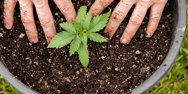 Nutrients for cannabis grown in soil