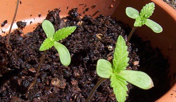 sprouting cannabis outside sun