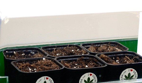 sprouting indoors cannabis