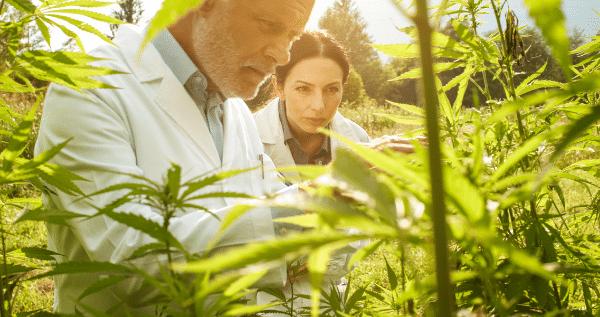 start a commercial marijuana grow operation