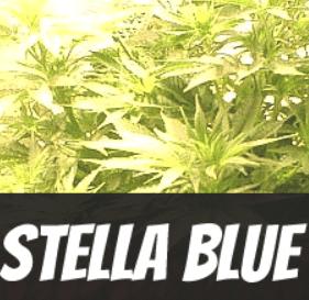 Stella Blue Strain