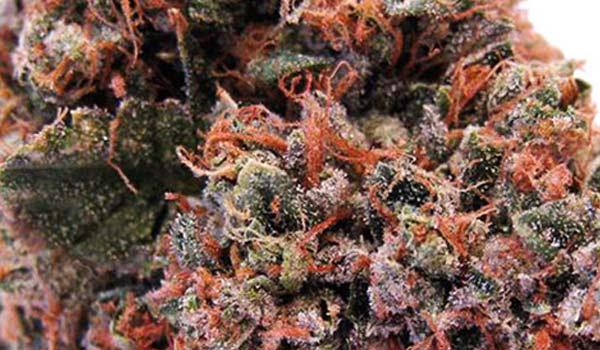 Strawberry kush strain