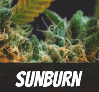 Sunburn Strain