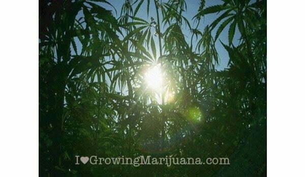 sunny marijuana growsite