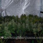 Super scrogging marijuana