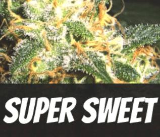 Super-Sweet-Strain