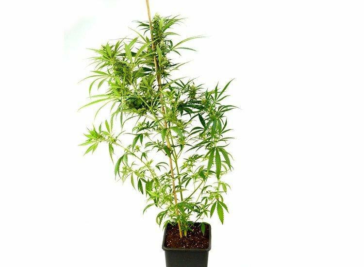 Fallen marijuana plant fix