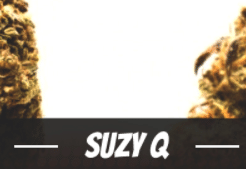 Suzy Q Strain