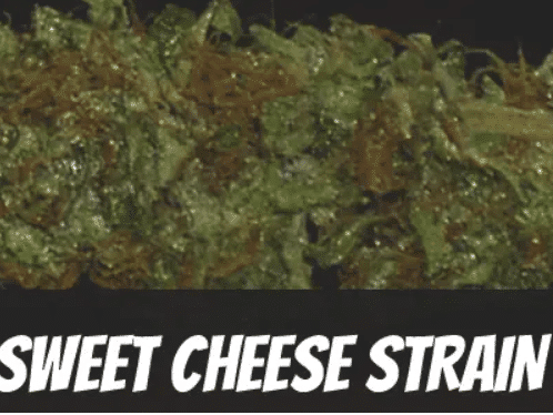 sweet-cheese-strain
