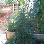 thc level outdoor cannabis