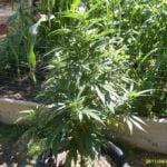 thc level outdoor marijuana