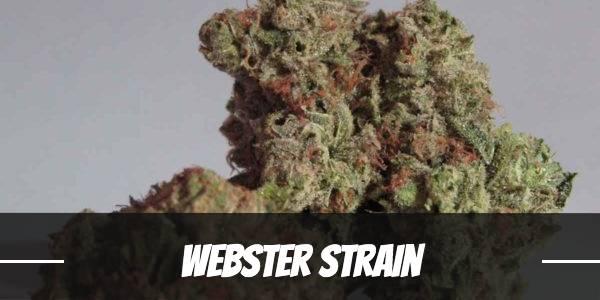 Webster Strain
