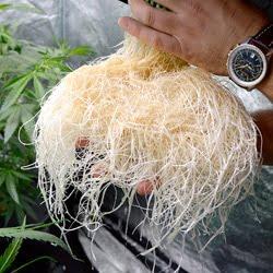 week 1 flowering roots