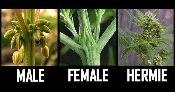 What is a hermaphrodite marijuana plant