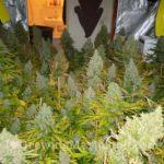 White widow marijuana