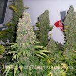 White widow and blueberry marijuana