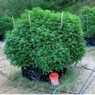 Why grow weed on soil