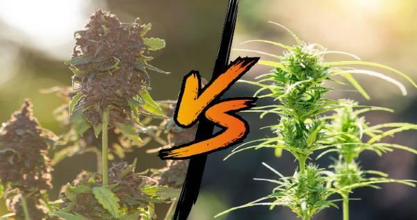 Autoflower vs Photoperiod